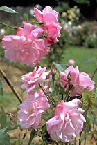 'Old Blush', rose à floraison continue importée de Chine vers 1793.